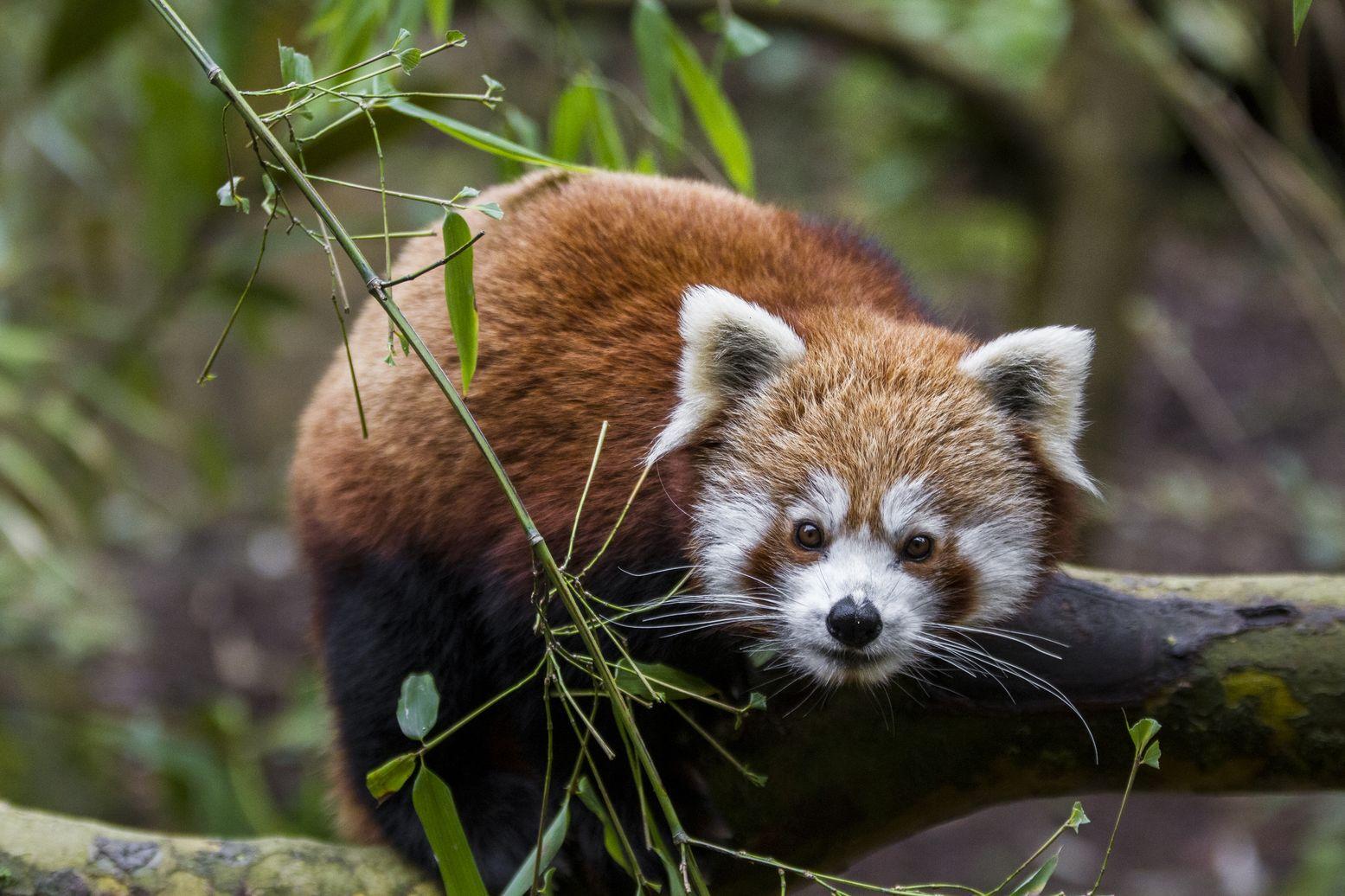 zoo-de-mulhouse-panda-roux-h-chabot
