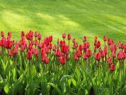 phpxufrdd-tulips-21620-640-181x136