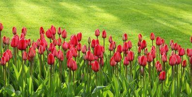 phpxufrdd-tulips-21620-640-396x200