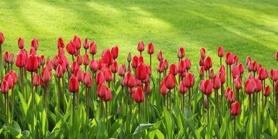 phpxufrdd-tulips-21620-640-400x200