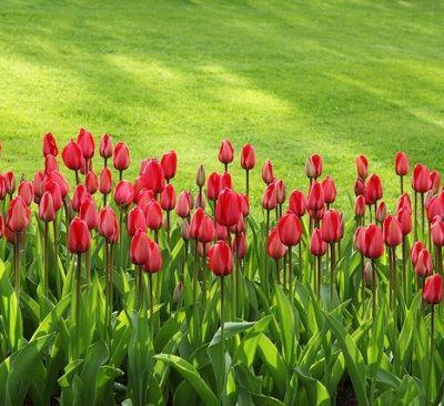 phpxufrdd-tulips-21620-640-400x366