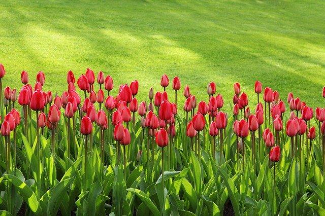 phpxufrdd-tulips-21620-640